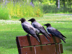 Three crows sitting on a park bench