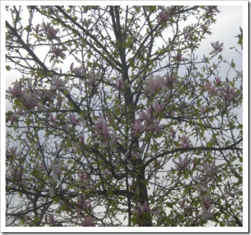 A magnolia tree in bloom