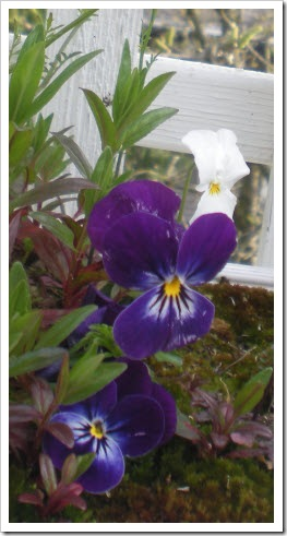 Purple violas with yellow centers