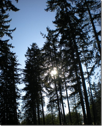 Sun shining through tall fir trees