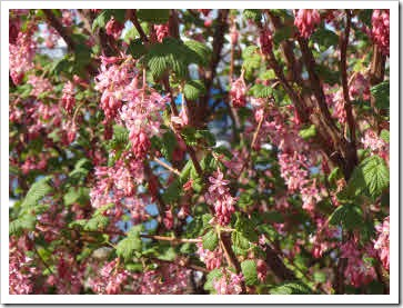 Pink blossoms on a bush