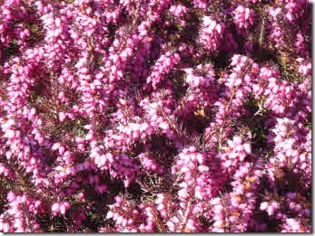 A close up of purple heather
