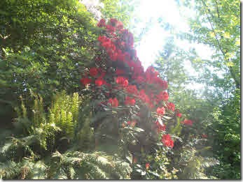 Red rhododendron amoongst trees and ferns