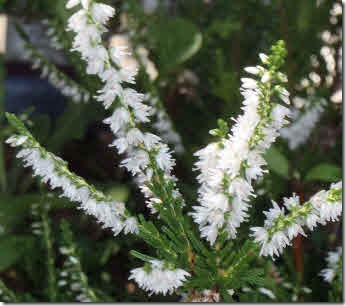 Dainty white heather