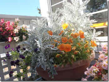 Planters with pink and white pink begonias, and orange and purple pansies