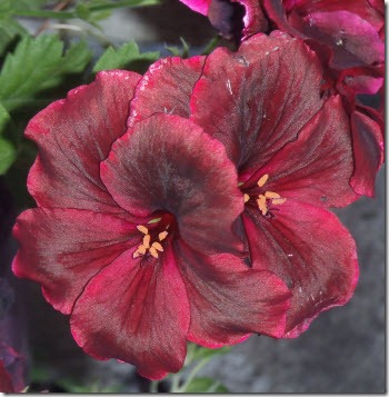 Deep burgundy geranium blossom
