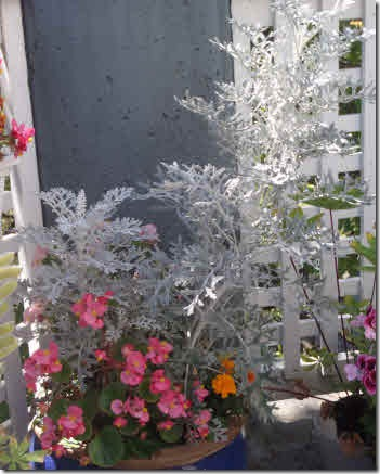 Planter with pink begonias and tall Dusty Miller