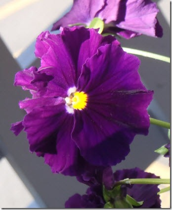 Deep purple pansy with bright yellow center