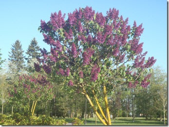 Tree with purple blossoms