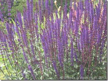 Spikey purple flowers