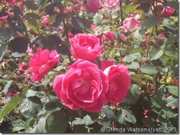 Close up of four pink roses