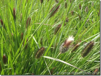 A close up of tall grasses with soft fuzzies on the tips
