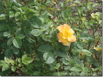 A single yellow rose with a tinge of peach