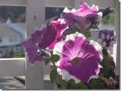 Purple petunias with white edges