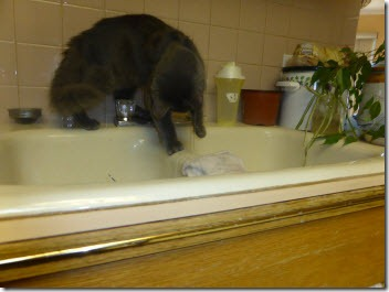 Buddy  playing in the kitchen sink.