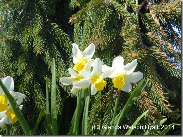 White and yellow daffodils under the trees