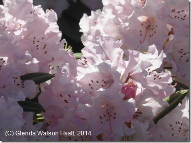 Pink frilly rhododendrons